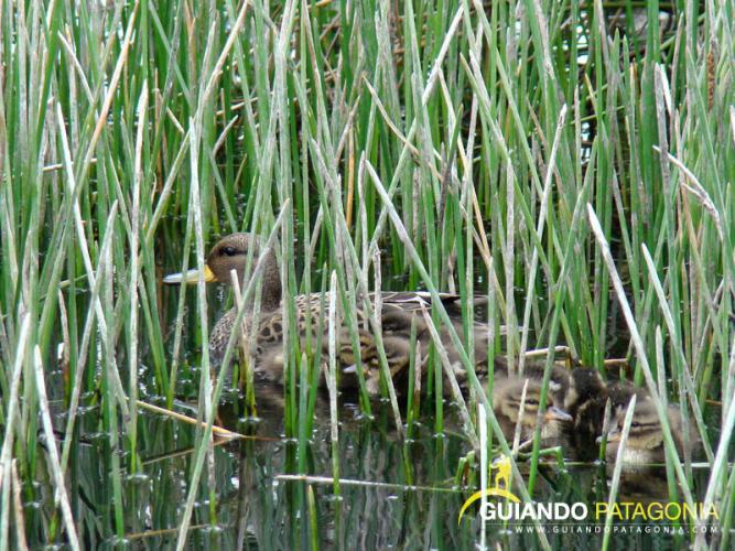 In Parque Nacional Nahuel Huapi, Río Negro, Argentina you can Avistaje de Aves Parque Nacional Nahuel Huapi with LATITUR