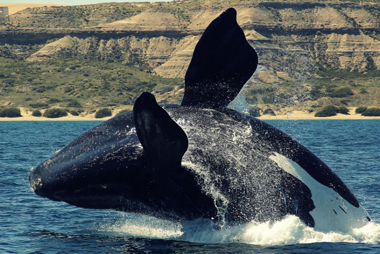 In Puerto Madryn, Chubut, Argentina you can Avistaje  Ballenas / Península Low Cost with LATITUR