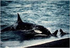 In Valdes, Chubut, Argentina you can Avistaje de Orcas en Punta Norte y Caleta Valdés with LATITUR